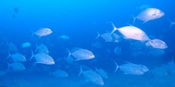 石垣島の回遊魚